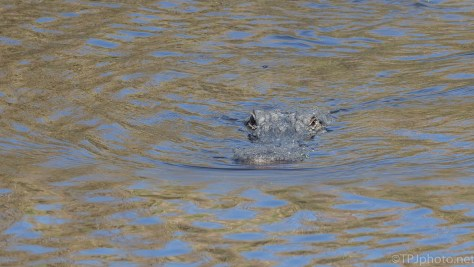 Alligator Series, Declaring Territory To Photographers - click to enlarge