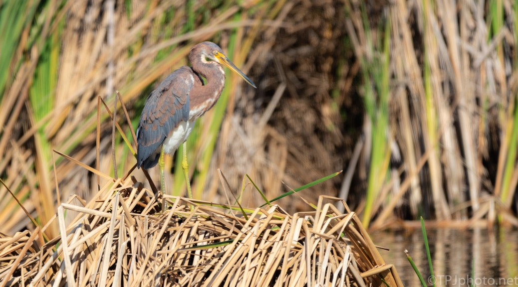 On The Reeds, Tricolored Heron - click to enlarge