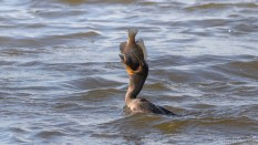 Double-crested Cormorant Fishing