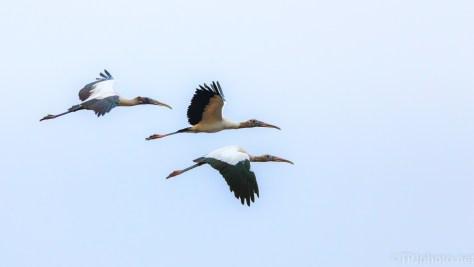 Wood Stork, Blue Sky - click to enlarge