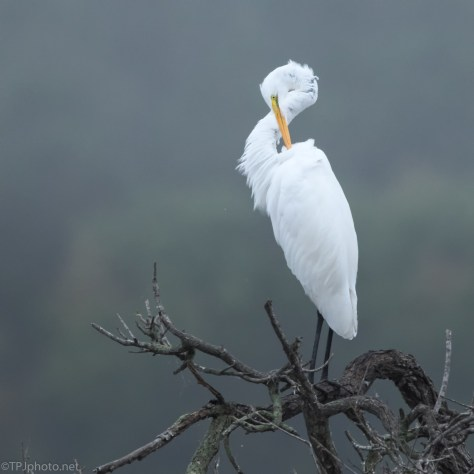 Great Egret - click to enlarge