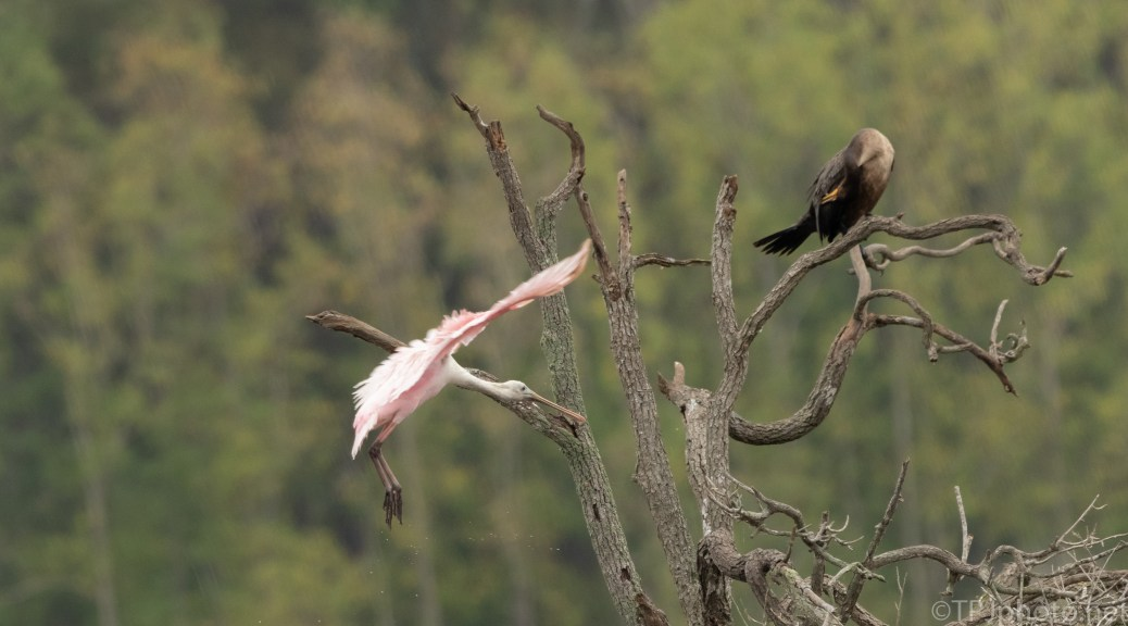 Coming In Fast, Spoonbill - click to enlarge