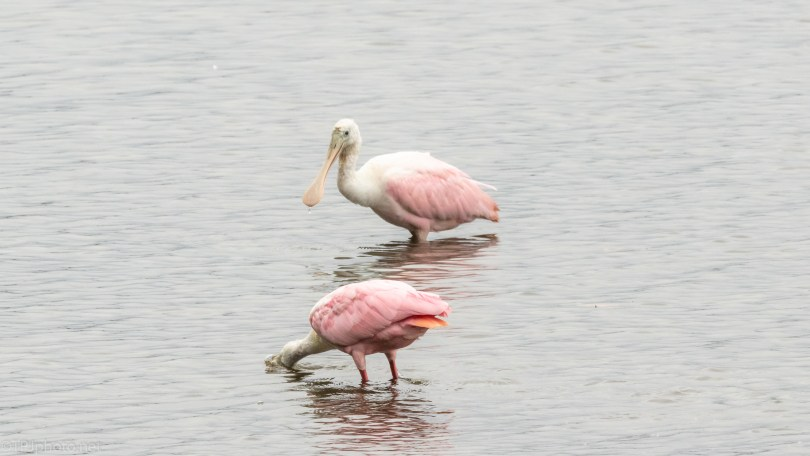 Serious Spoonbill - click to enlarge