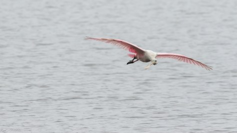 Incoming Spoonbill - click to enlarge