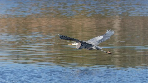 Low Flying Great Blue - click to enlarge