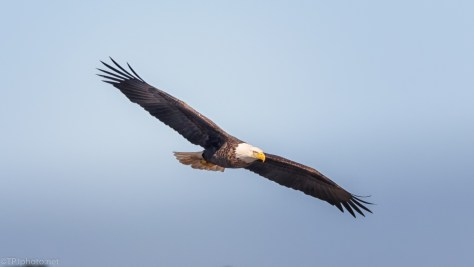 Hunting Fly By, Bald Eagle - click to enlarge