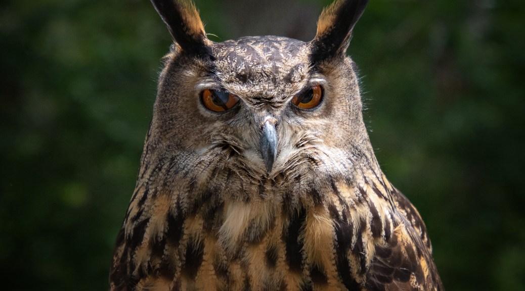 Dark Eagle Owl - click to enlarge