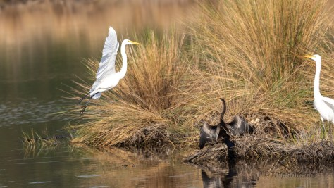 Wanted The Other Egrets Spot - click to enlarge