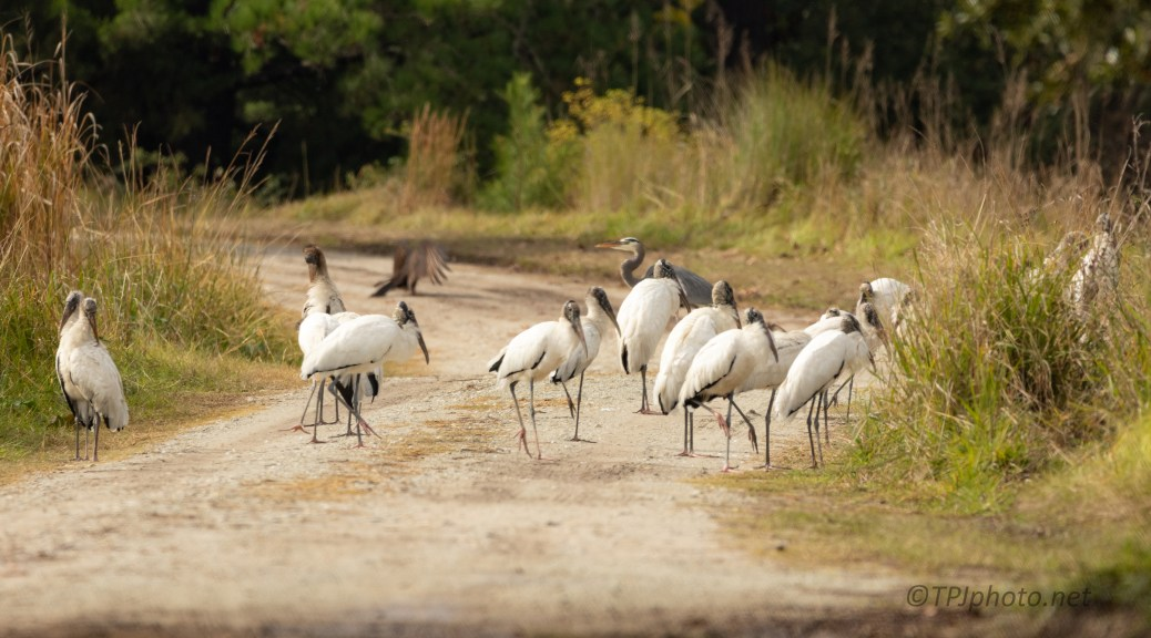 Sorry, Roads Closed, Wood Storks - click to enlarge