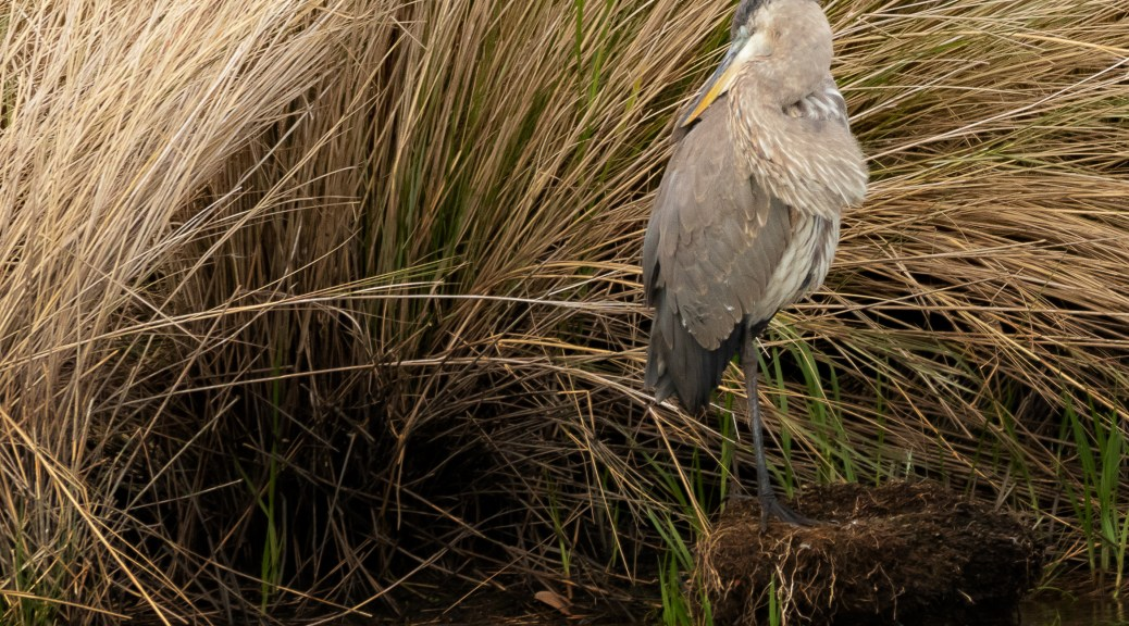 Napping, Great Blue - click to enlarge