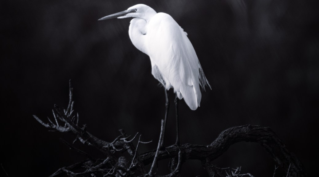 Great Egret, Drama - click to enlarge