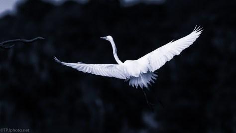 Cyan Egret - click to enlarge