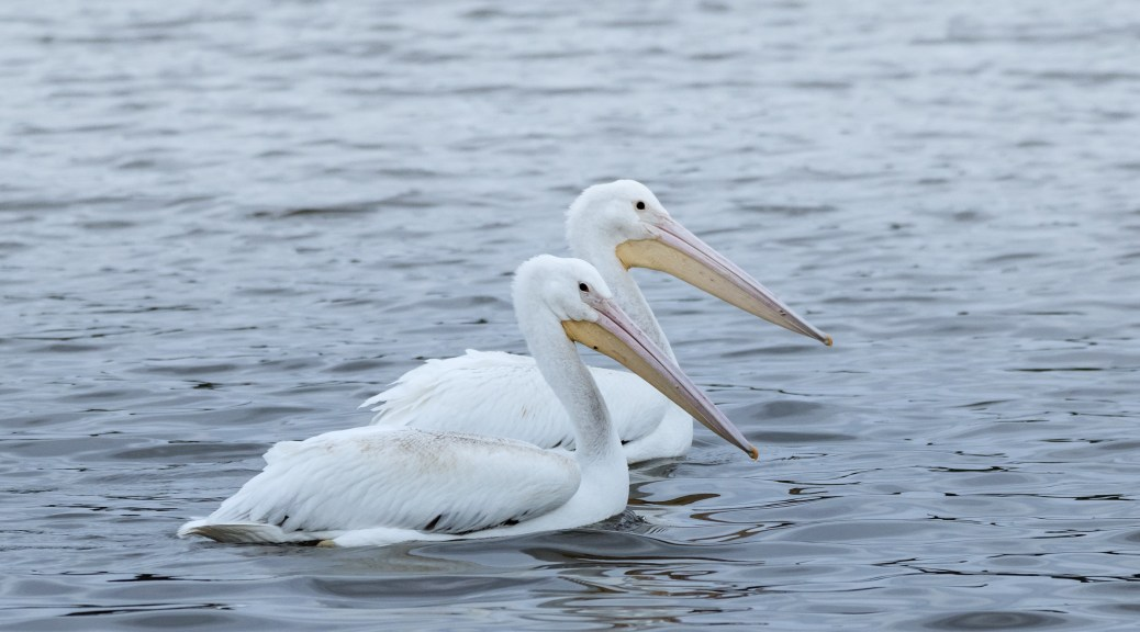 Paddling By, White Pelicans - click to enlarge