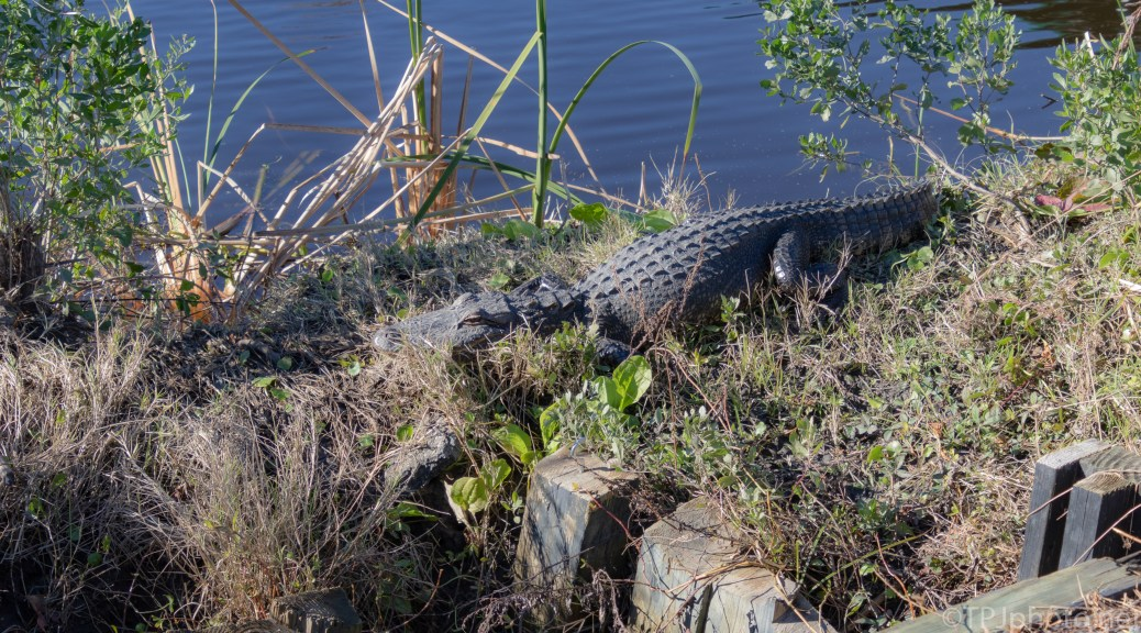 Always Check The Trail Side, Alligator - click to enlarge