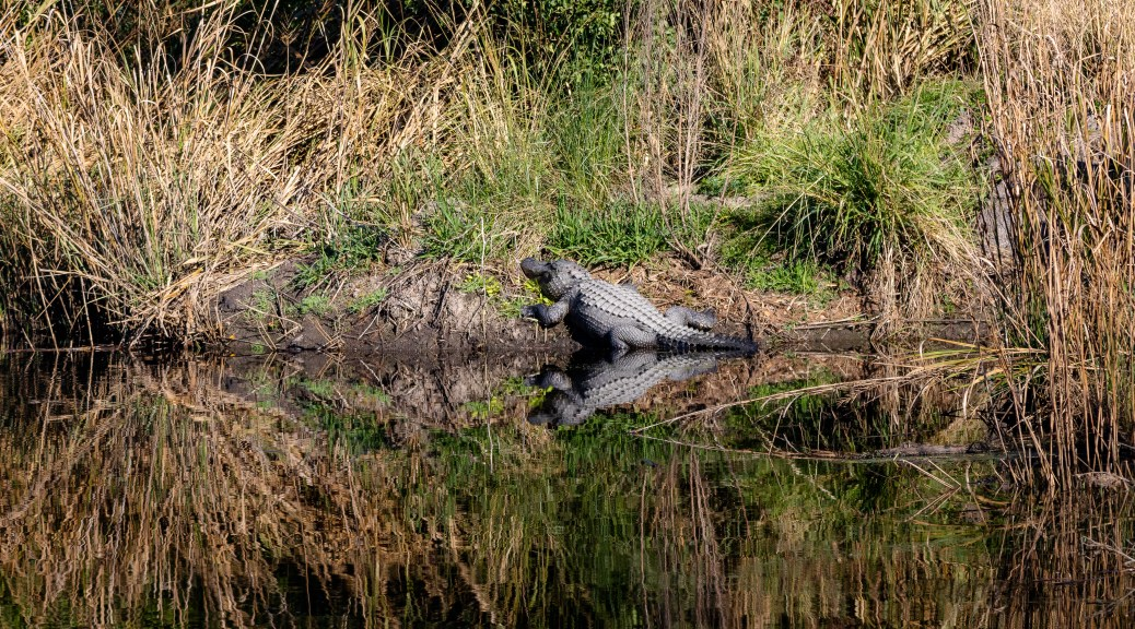 Along The Marsh Bank, Alligator - click to enlarge