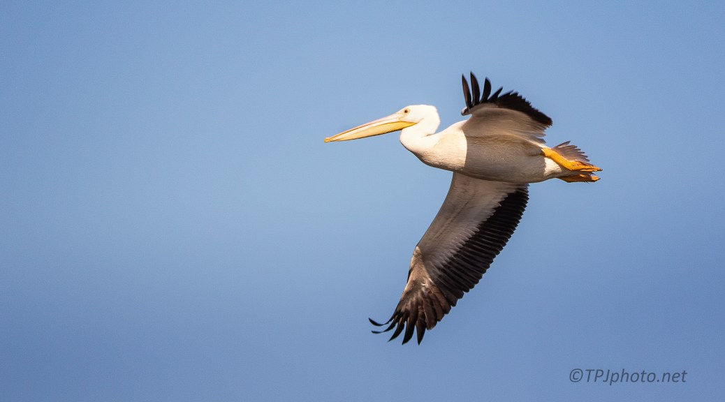 Fast Moving Pelican - click to enlarge