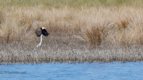 Bald Eagle, Marsh Shots - click to enlarge