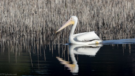 Pelican And Reflections - click to enlarge