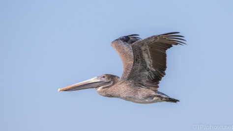 Close Fly By, Brown Pelican - click to enlarge
