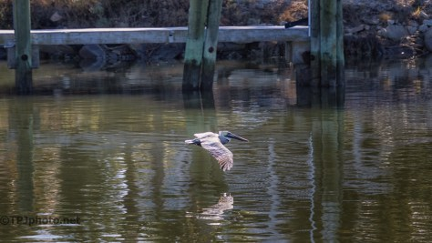 Catching A Thermal, Pelican - click to enlarge