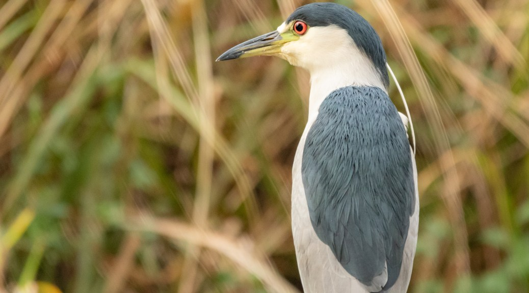 Night Heron Against Fall Reeds - click to enlarge