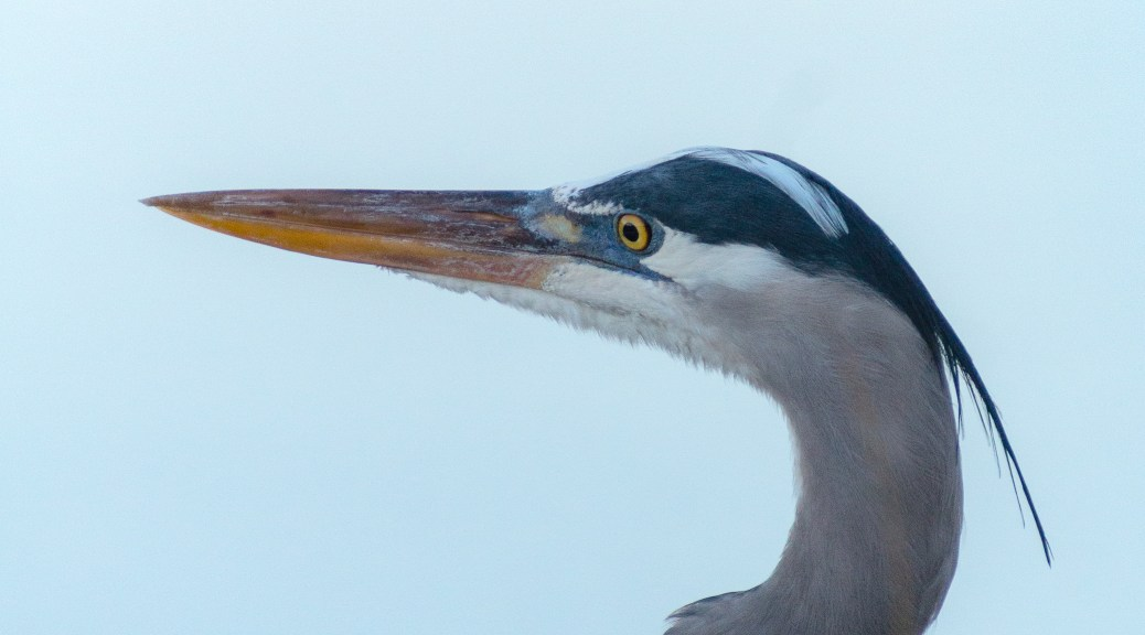 Evening Great Blue Heron - click to enlarge