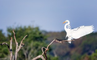 A Perfect Landing, Great Egret - click to enlarge