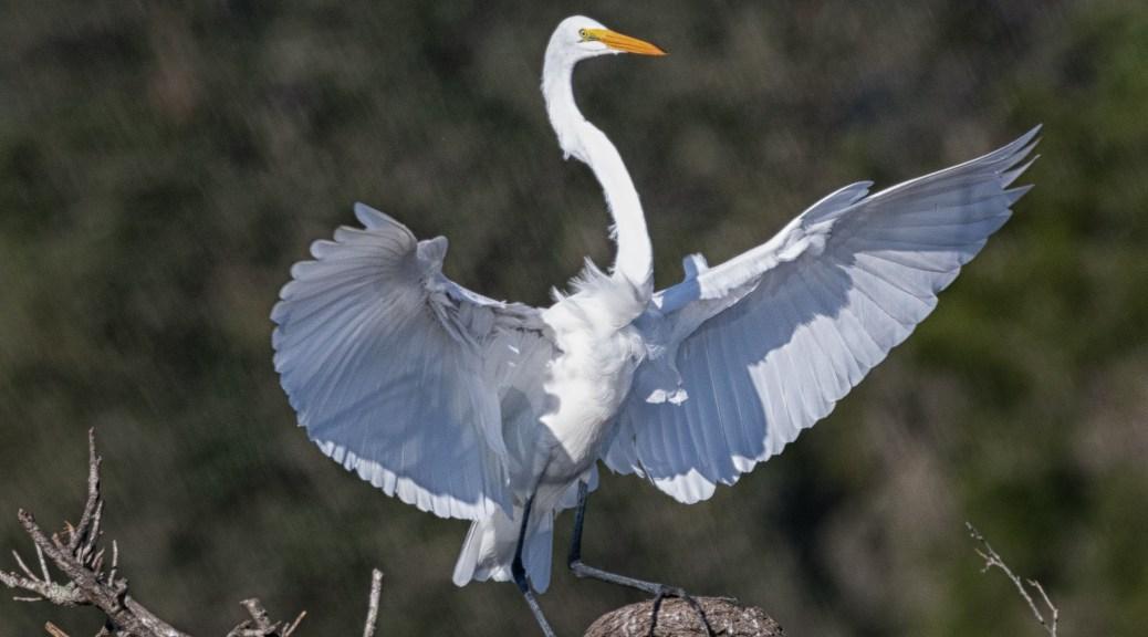 Classic Egret - click to enlarge