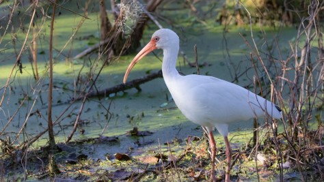 Wandering In A Swamp, Ibis - click to enlarge