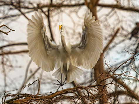 Shooting Into A Cypress, Egret - click to enlarge