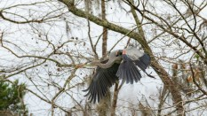 Just Grabbed The Stick, Heron - click to enlarge