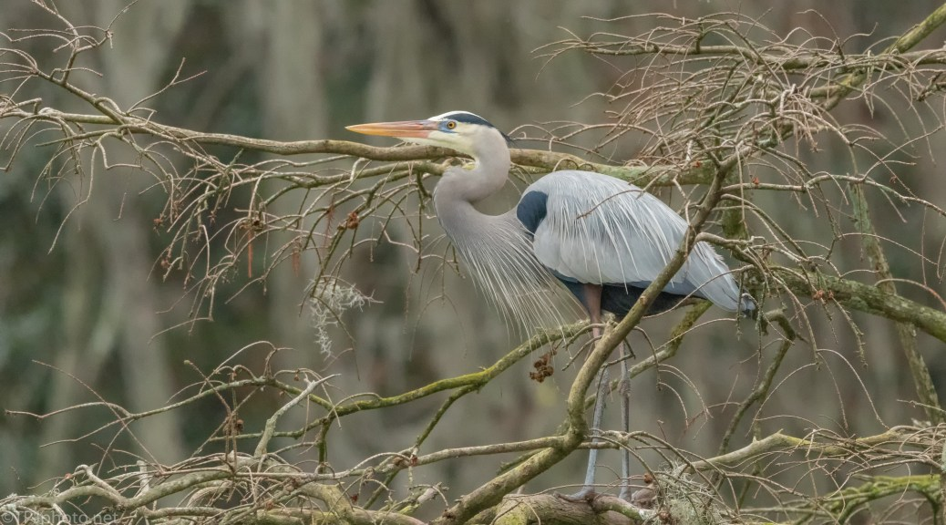 Great Blue Heron At A Nest Site - click to enlarge