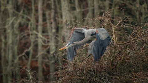 A Quick Get Away, Heron - click to enlarge