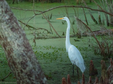 Egret In A Darkening Swamp - click to enlarge