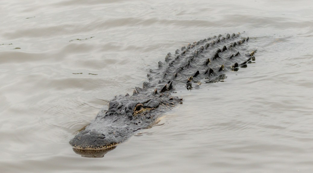 Photographing Locals In The Rain, Alligator - click to enlarge