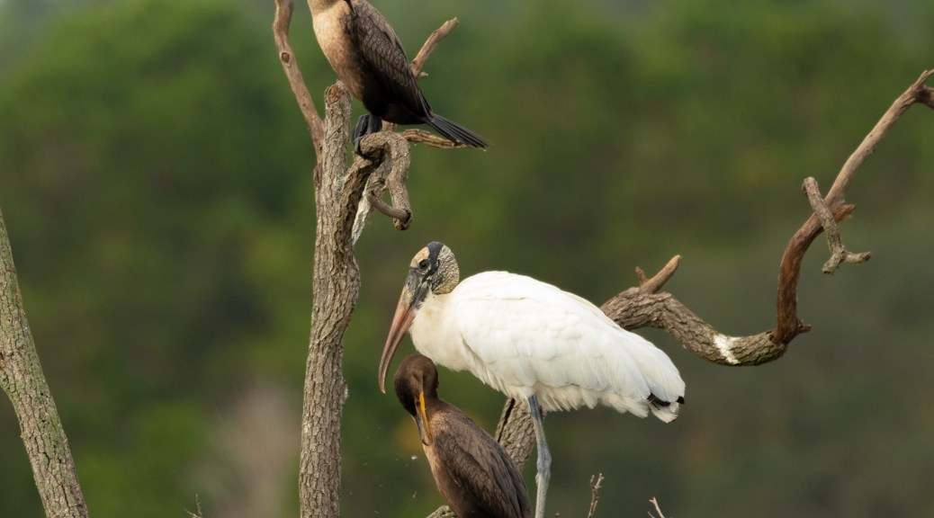 Sharing Space, Cormorant, Wood Stork - click to enlarge