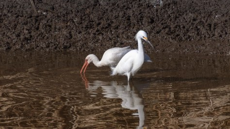 Sharing Space, Snowy And Ibis - click to enlarge