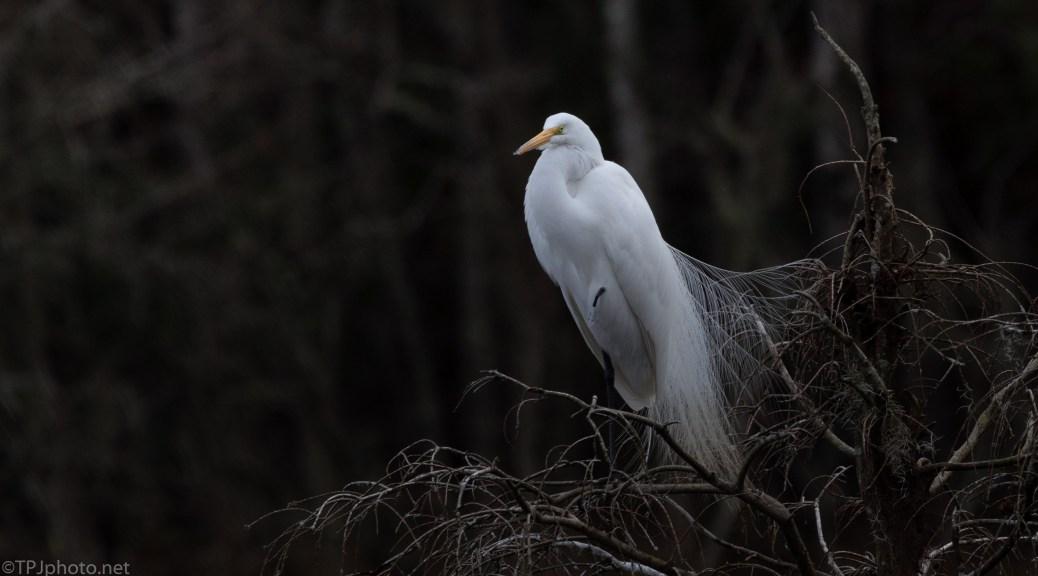 Great Egret, Start Of Breeding Plumage - click to enlarge