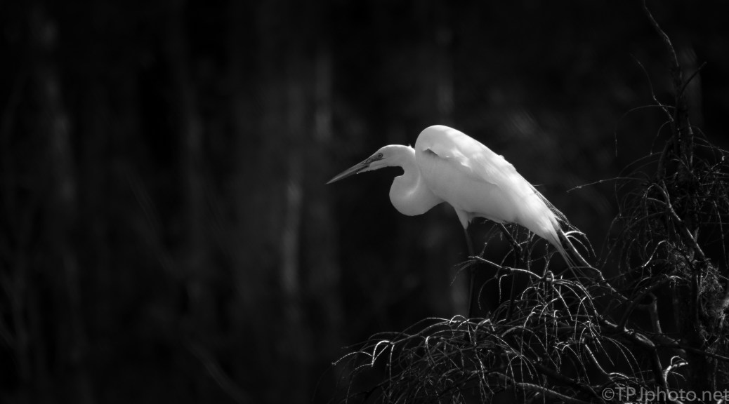 Great Egret In Shadows - click to enlarge
