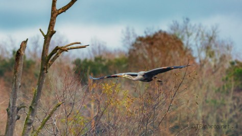 Over A Rookery, Heron - click to enlarge