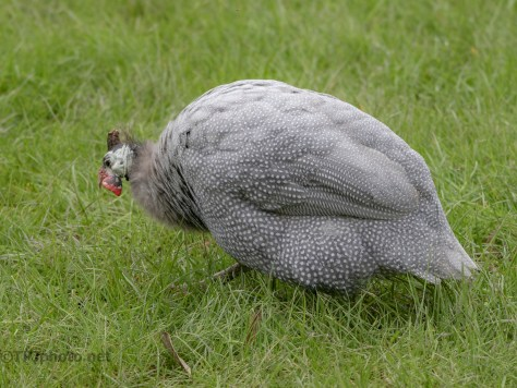 Local Guinea Hen - click to enlarge