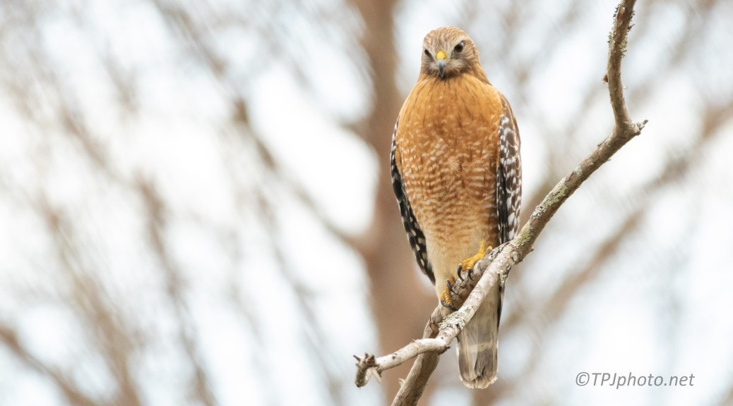 Established A Territory, Hawk - click to enlarge