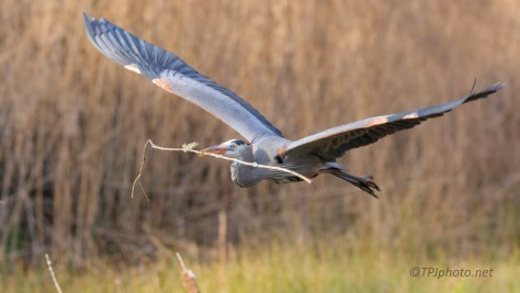 With A Treasure, Great Blue Heron - click to enlarge