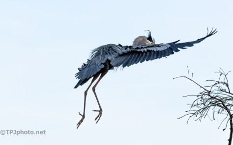Great Blue Comes To A Swamp - click to enlarge