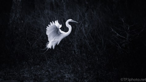 Great Egret, High Key - click to enlarge