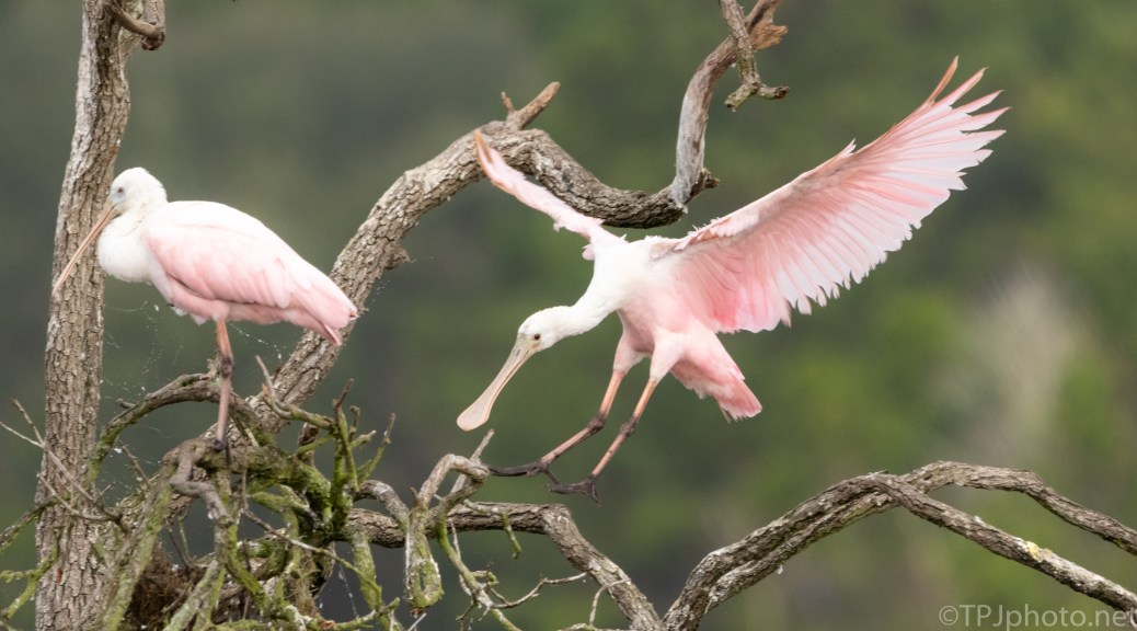 Smooth Spoonbill Landing - click to enlarge