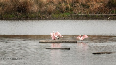 Clowns Playing On A Log, Spoonbills - click to enlarge