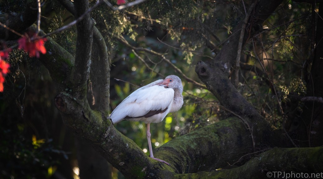 Young White Ibis - click to enlarge