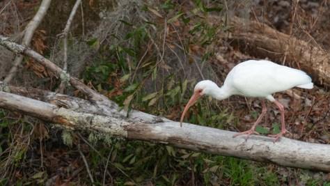Ibis Digging Around A Swamp