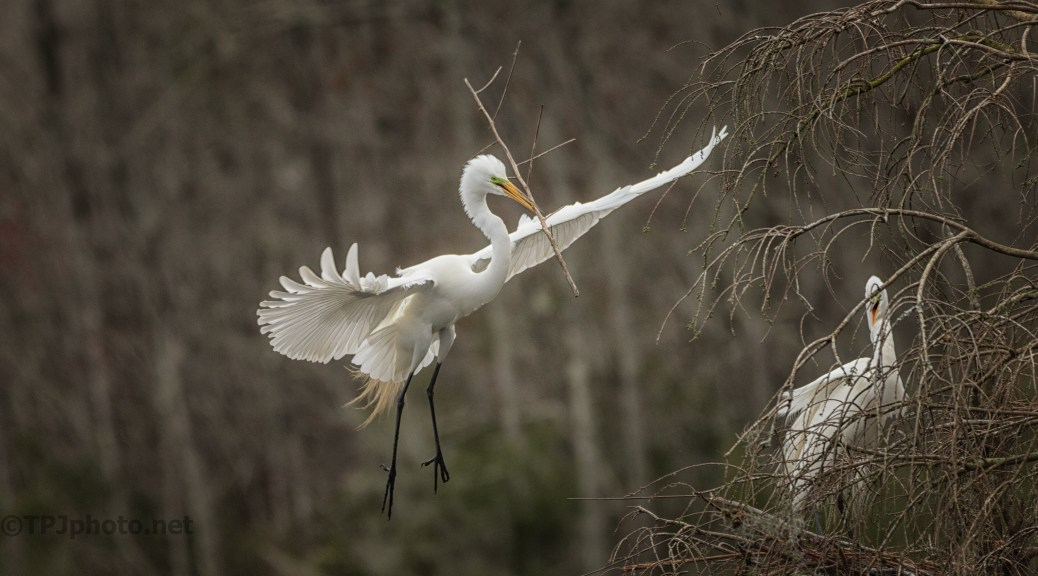Special Delivery, Great Egret